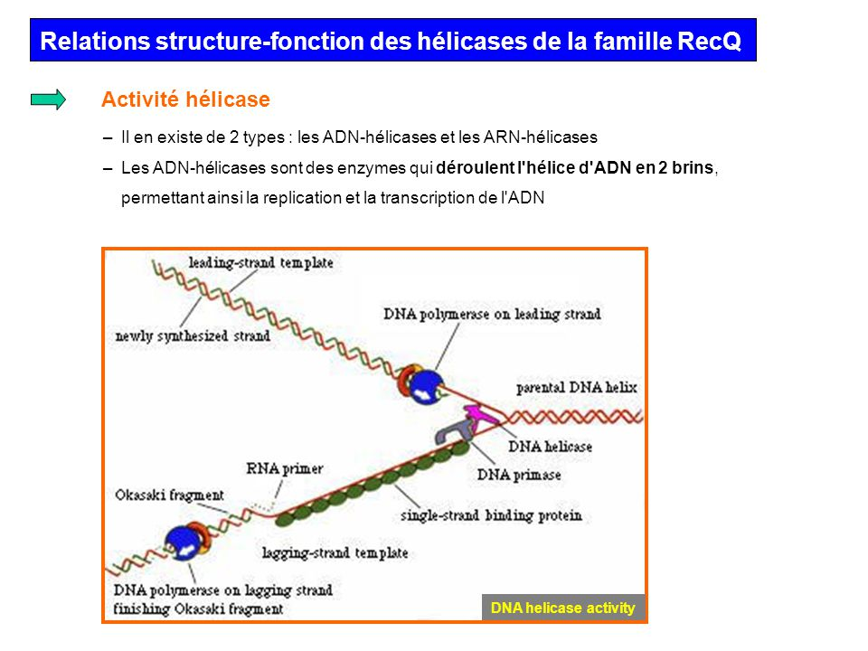 Relations structure-fonction des hélicases de la famille RecQ Les ADN-hélicases sont des protéines ubiquitaires agissant comme des moteurs moléculaires qui exploitent lénergie libre fournie par lhydrolyse de lATP pour catalyser la séparation des duplexes dADN énergétiquement stables.