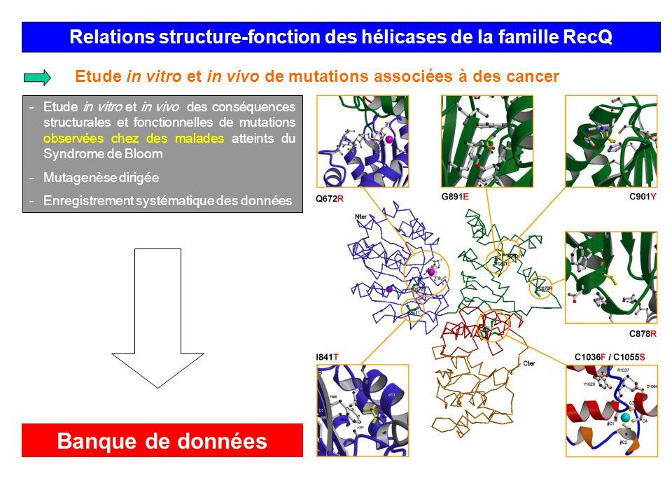 Relations structure-fonction des hélicases de la famille RecQ Etude in vitro et in vivo de mutations associées à des cancer -Etude in vitro et in vivo