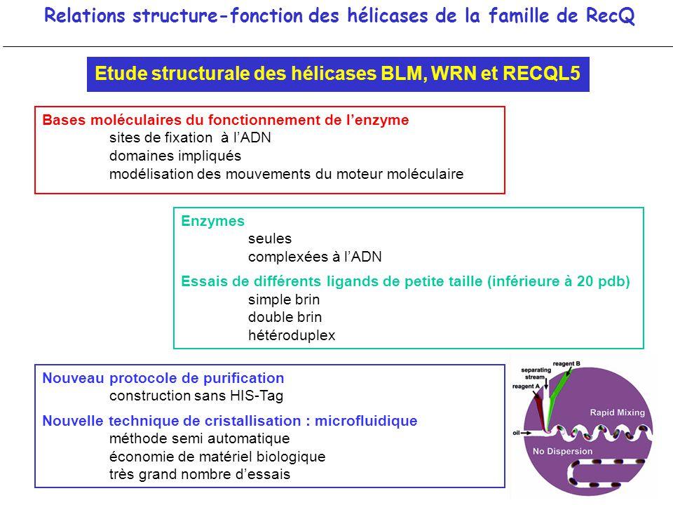 Relations structure-fonction des hélicases de la famille de RecQ Bases moléculaires du fonctionnement de lenzyme sites de fixation à lADN domaines imp