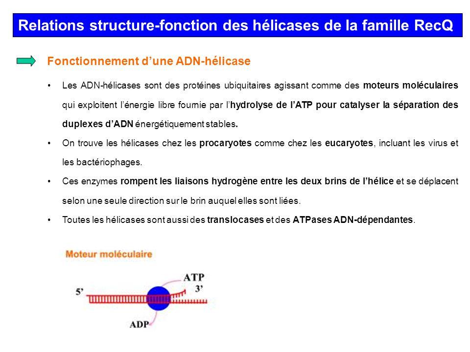 Relations structure-fonction des hélicases de la famille RecQ Les ADN-hélicases sont des protéines ubiquitaires agissant comme des moteurs moléculaire