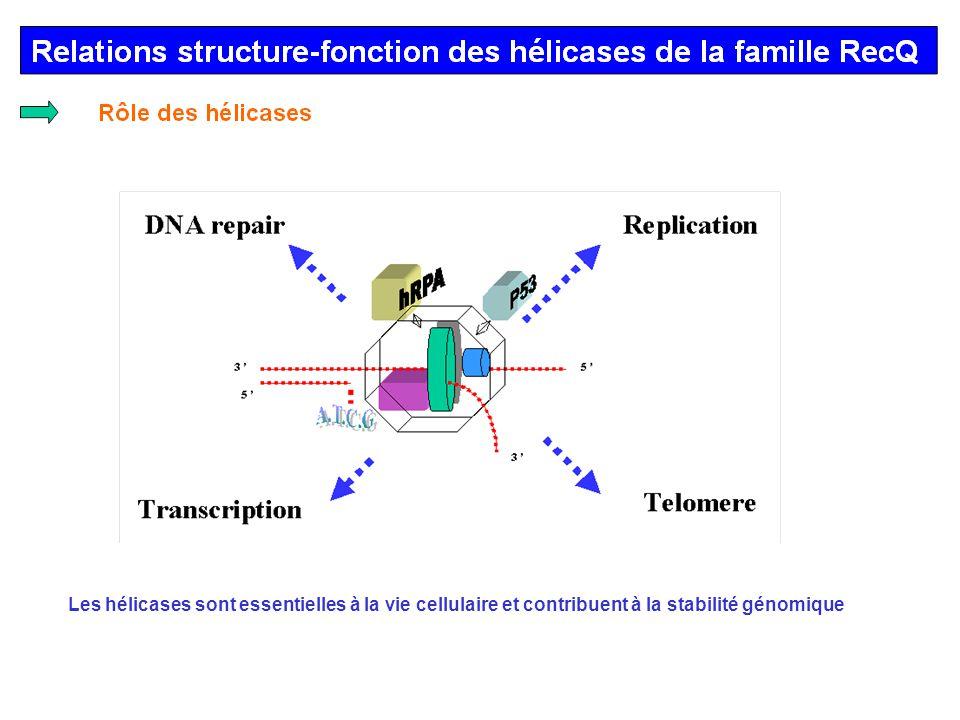 Relations structure-fonction des hélicases de la famille RecQ ADN-Hélicases répertoriées humain E.