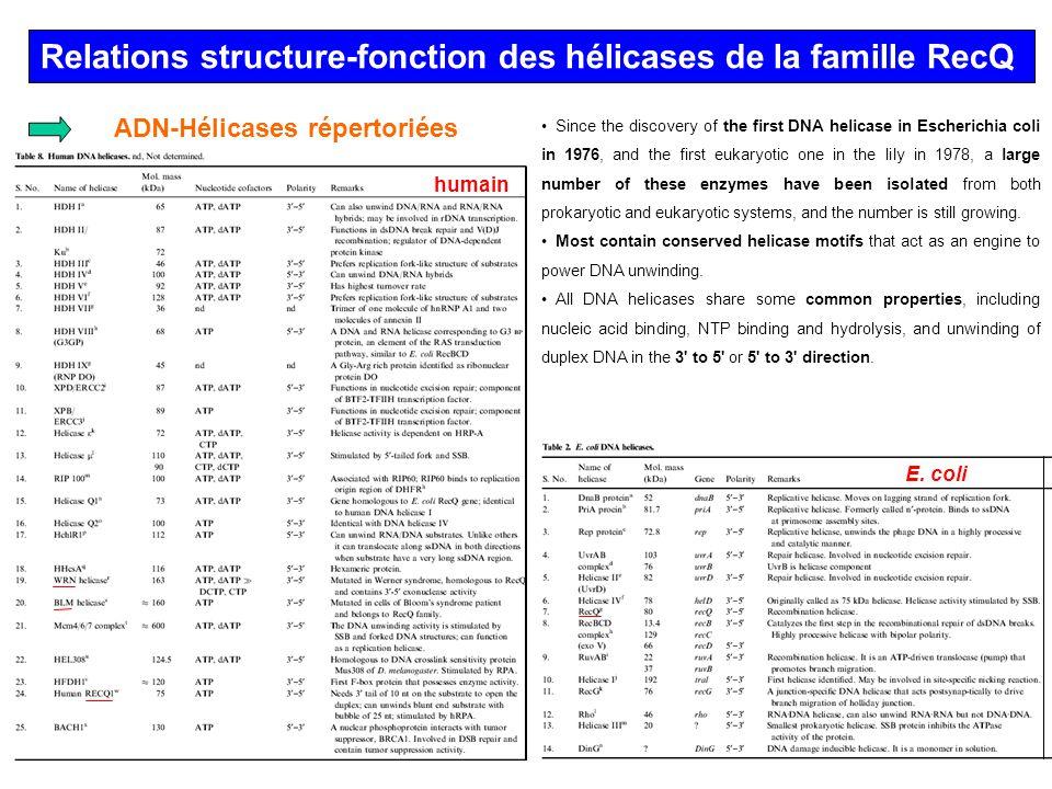 Relations structure-fonction des hélicases de la famille RecQ Les hélicases de la famille RecQ sont hautement conservées de la bactérie à lhomme et sont requises dans le maintien de lintégrité du génome.