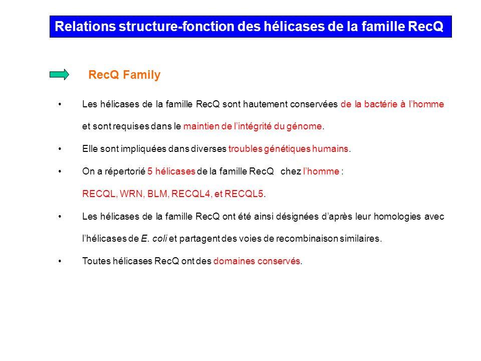 Relations structure-fonction des hélicases de la famille RecQ Les hélicases de la famille RecQ sont hautement conservées de la bactérie à lhomme et so