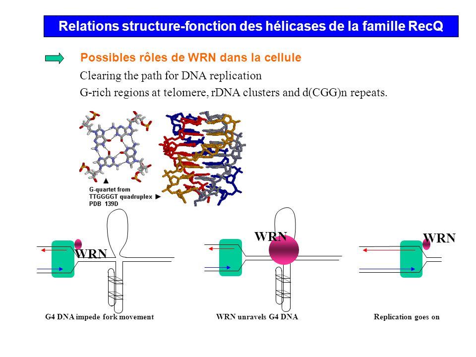 Relations structure-fonction des hélicases de la famille RecQ Mutations répertoriés