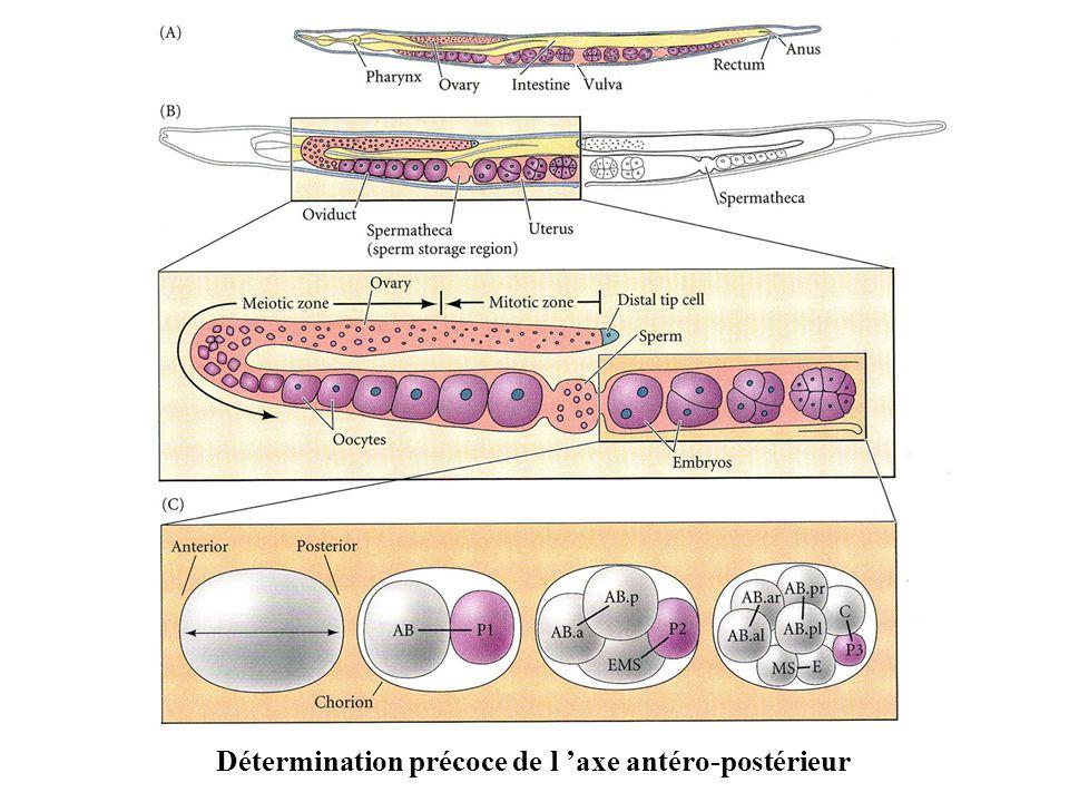 Détermination précoce de l axe antéro-postérieur