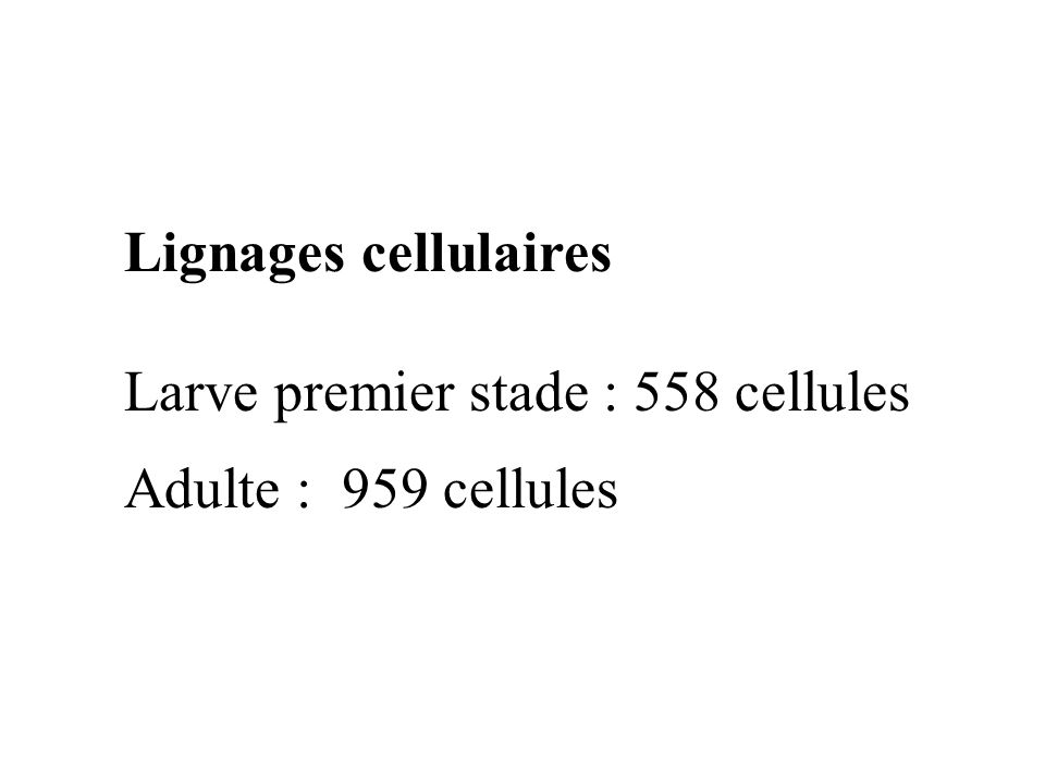 Lignages cellulaires Larve premier stade : 558 cellules Adulte : 959 cellules