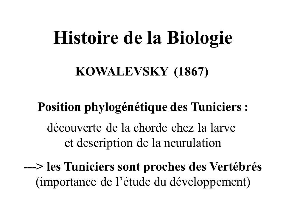 Histoire de la Biologie KOWALEVSKY (1867) Position phylogénétique des Tuniciers : découverte de la chorde chez la larve et description de la neurulation ---> les Tuniciers sont proches des Vertébrés (importance de létude du développement)