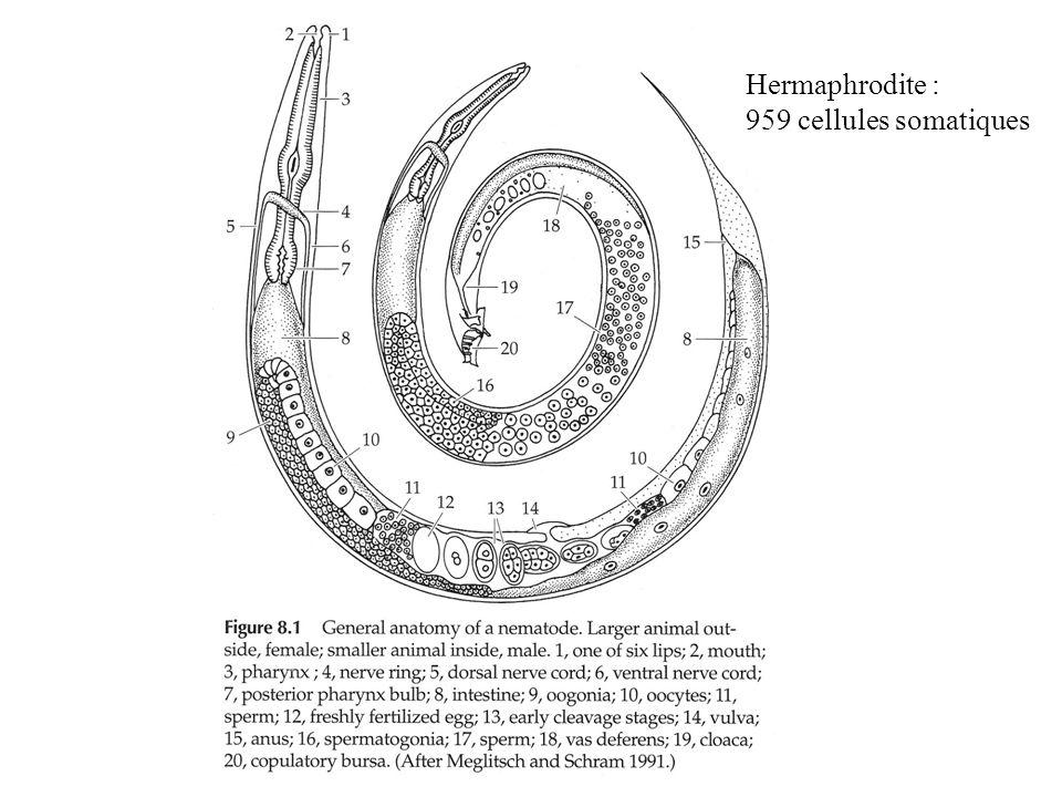 Hermaphrodite : 959 cellules somatiques