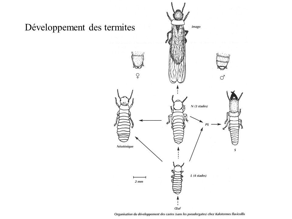 Développement des termites