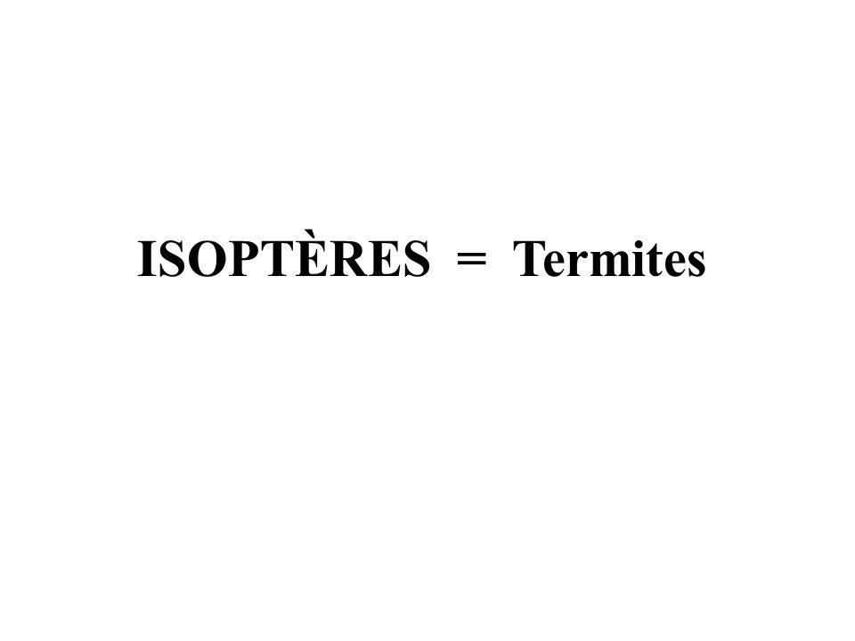 ISOPTÈRES = Termites