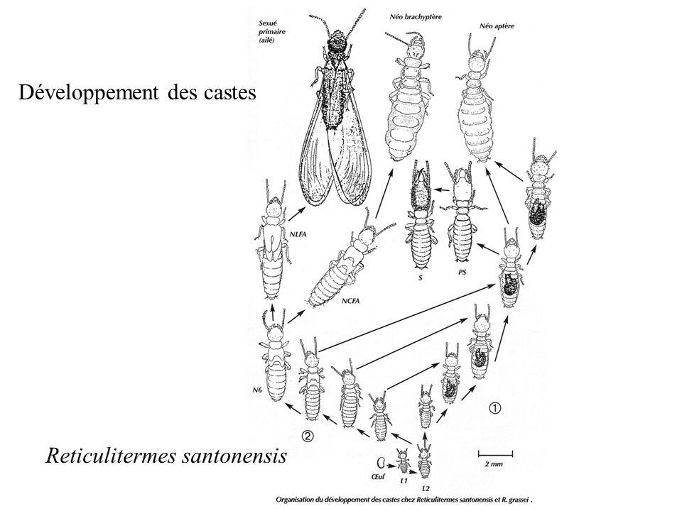 Développement des castes Reticulitermes santonensis