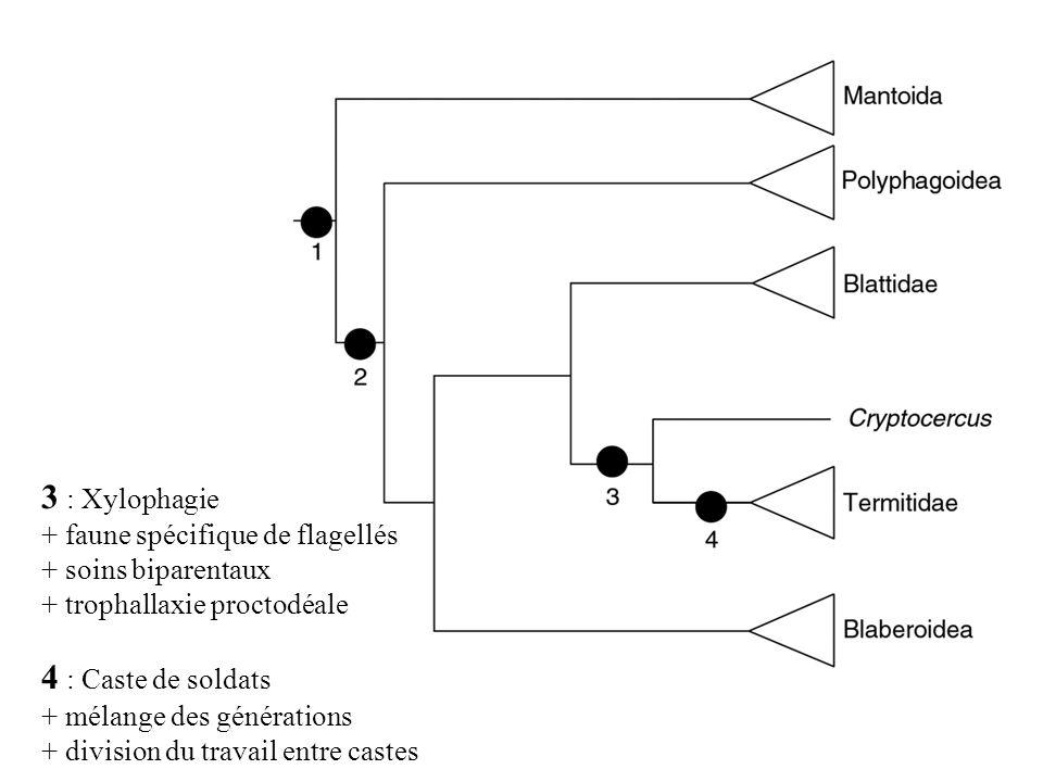 3 : Xylophagie + faune spécifique de flagellés + soins biparentaux + trophallaxie proctodéale 4 : Caste de soldats + mélange des générations + divisio