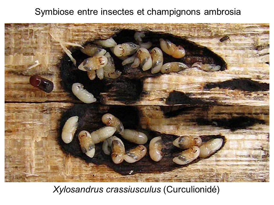 Xylosandrus crassiusculus (Curculionidé) Symbiose entre insectes et champignons ambrosia