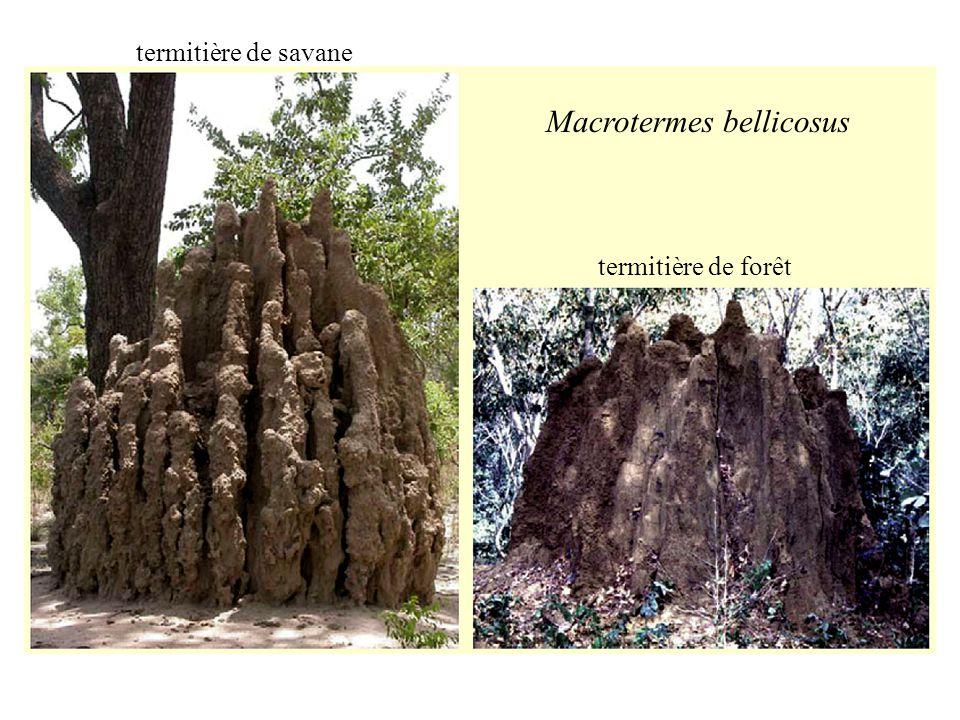 Macrotermes bellicosus termitière de savane termitière de forêt