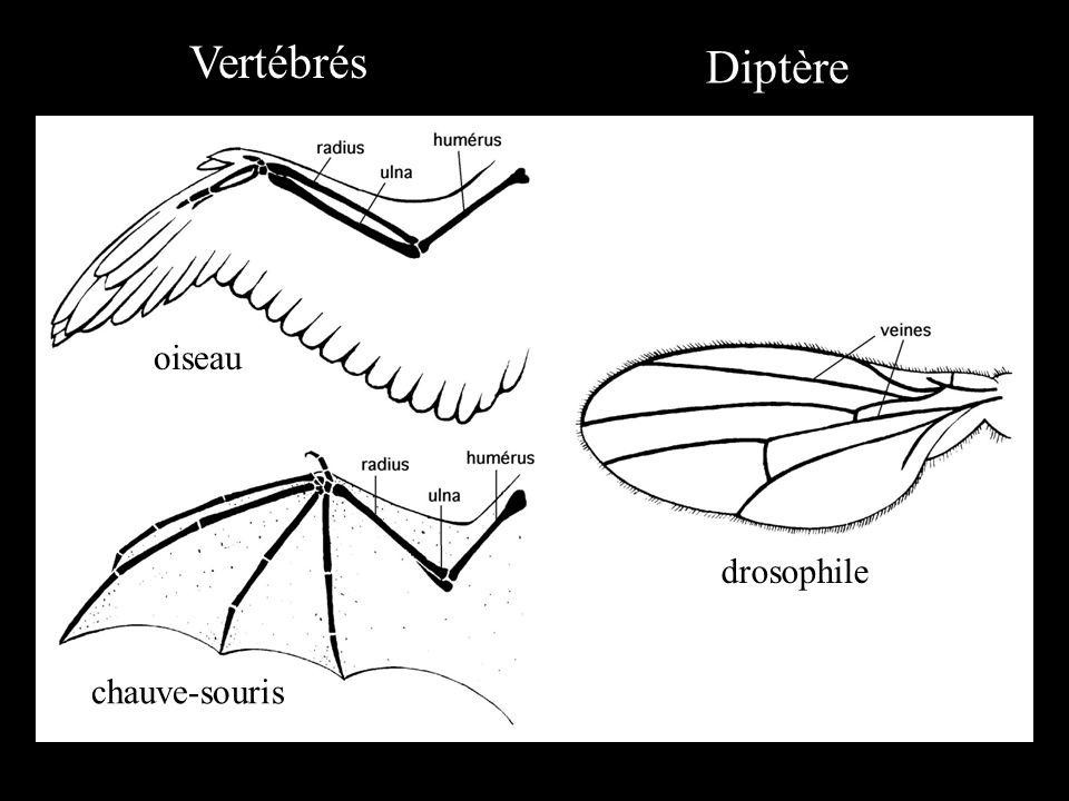oiseau chauve-souris drosophile Vertébrés Diptère