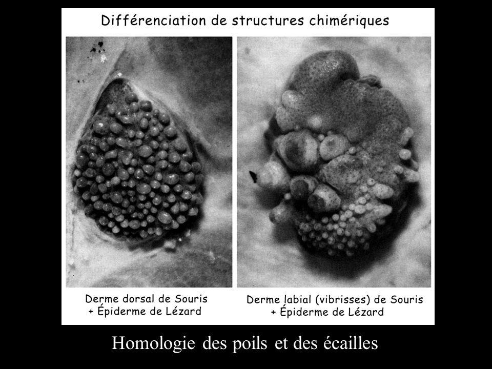 Homologie des poils et des écailles