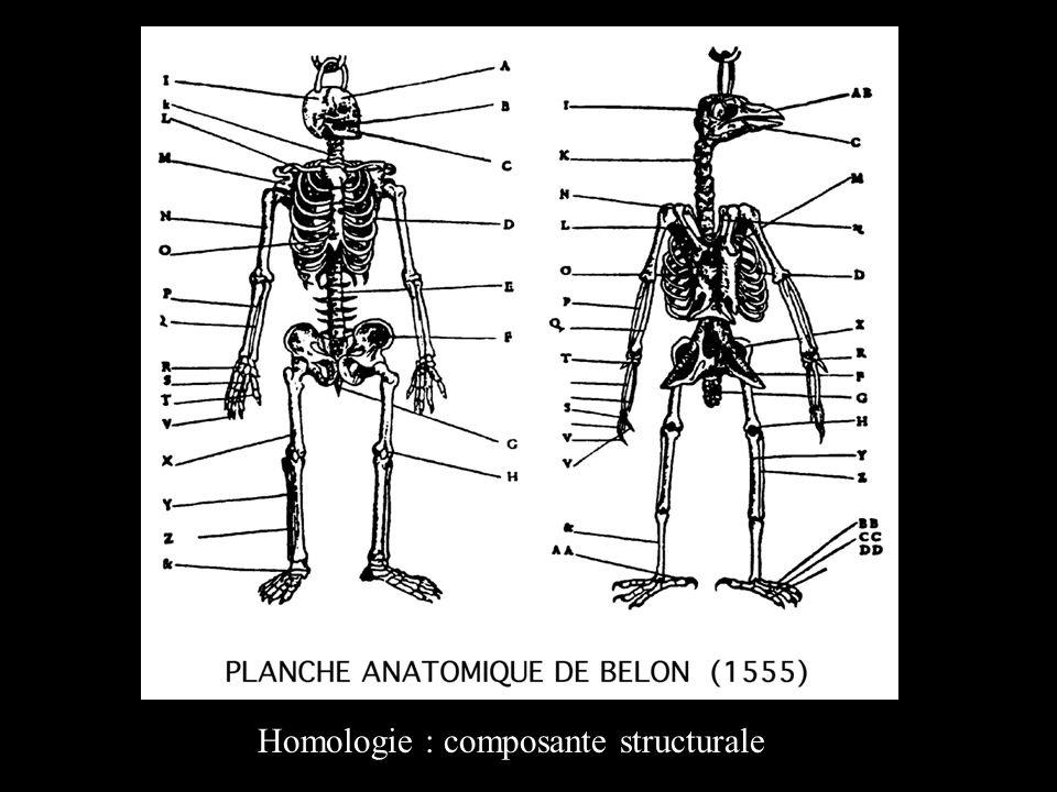 Homologie : composante structurale