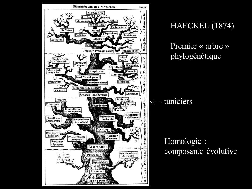 < --- tuniciers HAECKEL (1874) Premier « arbre » phylogénétique Homologie : composante évolutive
