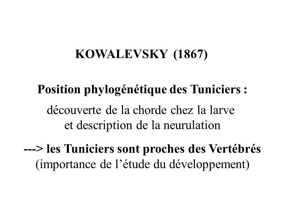 KOWALEVSKY (1867) Position phylogénétique des Tuniciers : découverte de la chorde chez la larve et description de la neurulation ---> les Tuniciers sont proches des Vertébrés (importance de létude du développement)