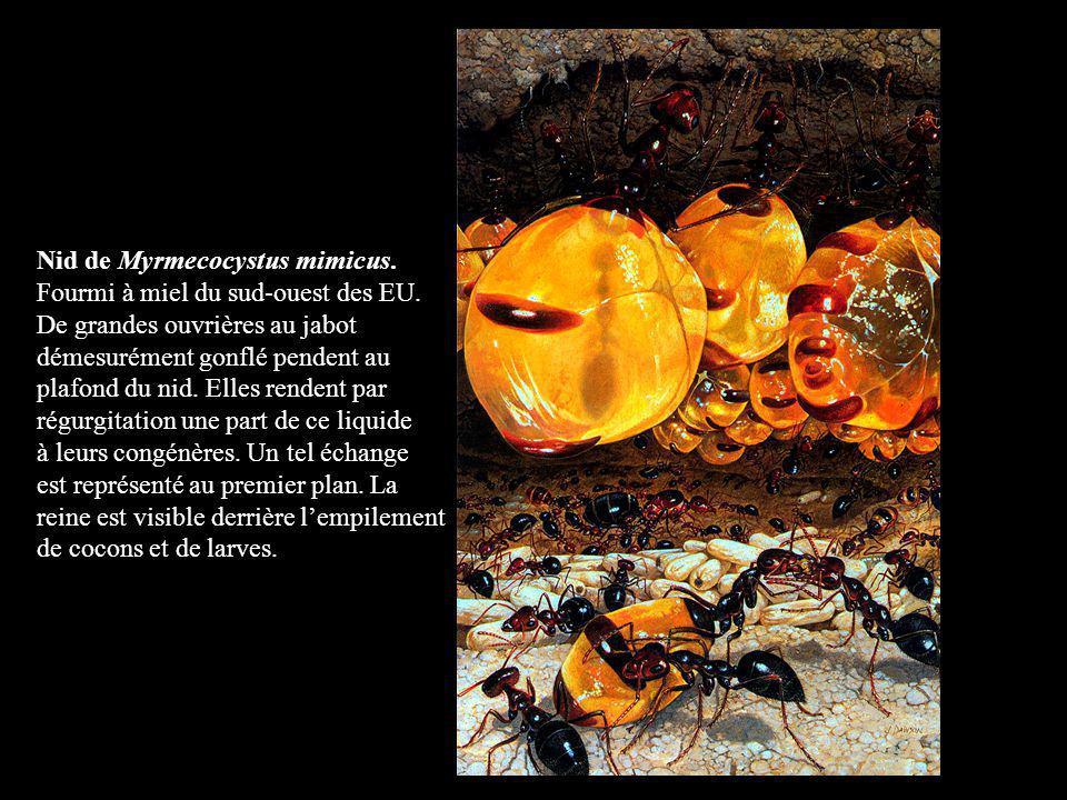 Nid de Myrmecocystus mimicus. Fourmi à miel du sud-ouest des EU. De grandes ouvrières au jabot démesurément gonflé pendent au plafond du nid. Elles re
