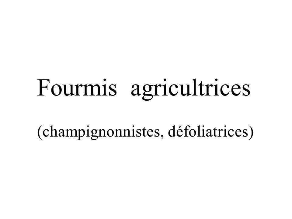 Fourmis agricultrices (champignonnistes, défoliatrices)