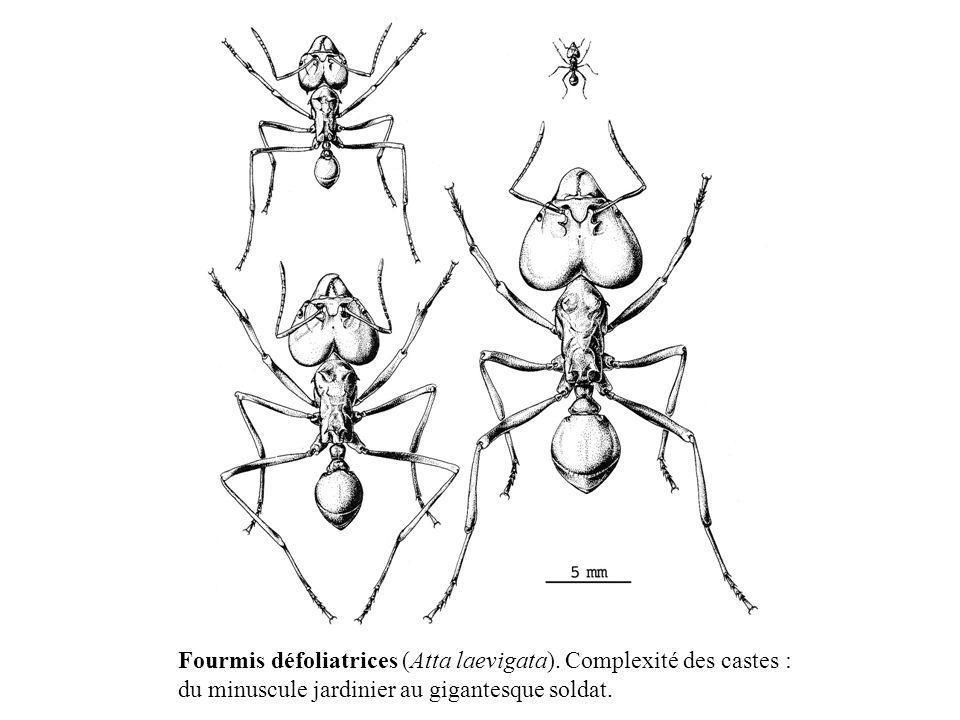 Fourmis défoliatrices (Atta laevigata). Complexité des castes : du minuscule jardinier au gigantesque soldat.
