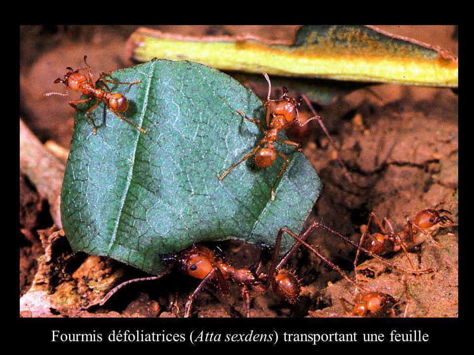 Fourmis défoliatrices (Atta sexdens) transportant une feuille