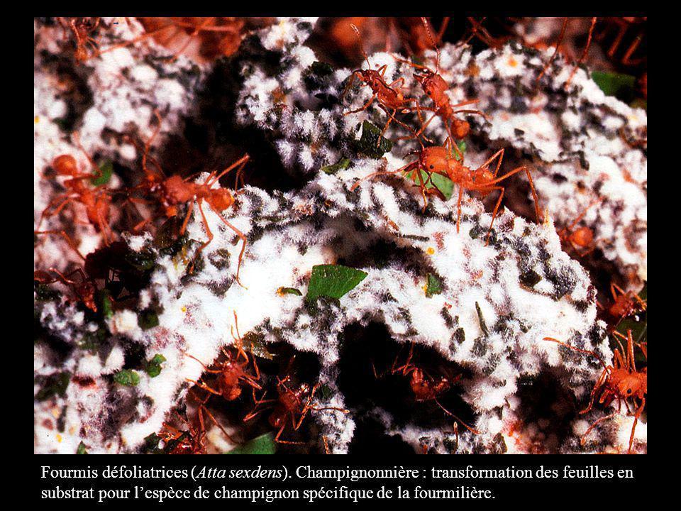Fourmis défoliatrices (Atta sexdens). Champignonnière : transformation des feuilles en substrat pour lespèce de champignon spécifique de la fourmilièr