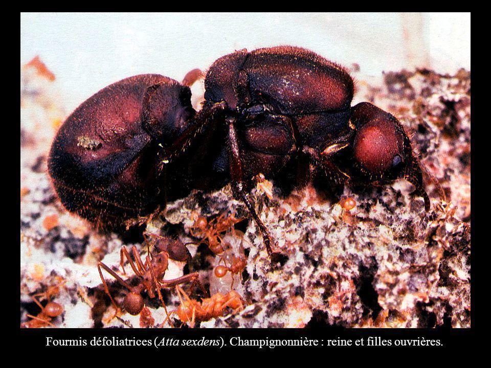 Fourmis défoliatrices (Atta sexdens). Champignonnière : reine et filles ouvrières.