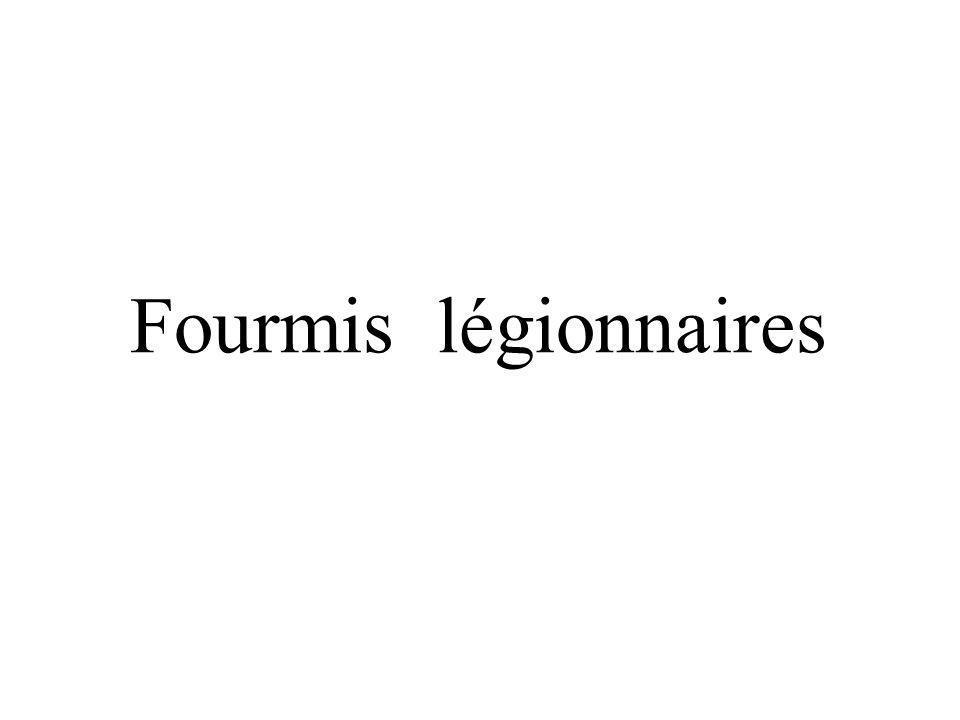 Fourmis légionnaires