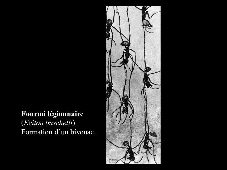 Fourmi légionnaire (Eciton buschelli) Formation dun bivouac.