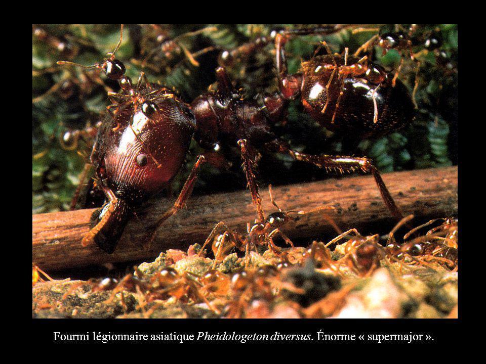 Fourmi légionnaire asiatique Pheidologeton diversus. Énorme « supermajor ».