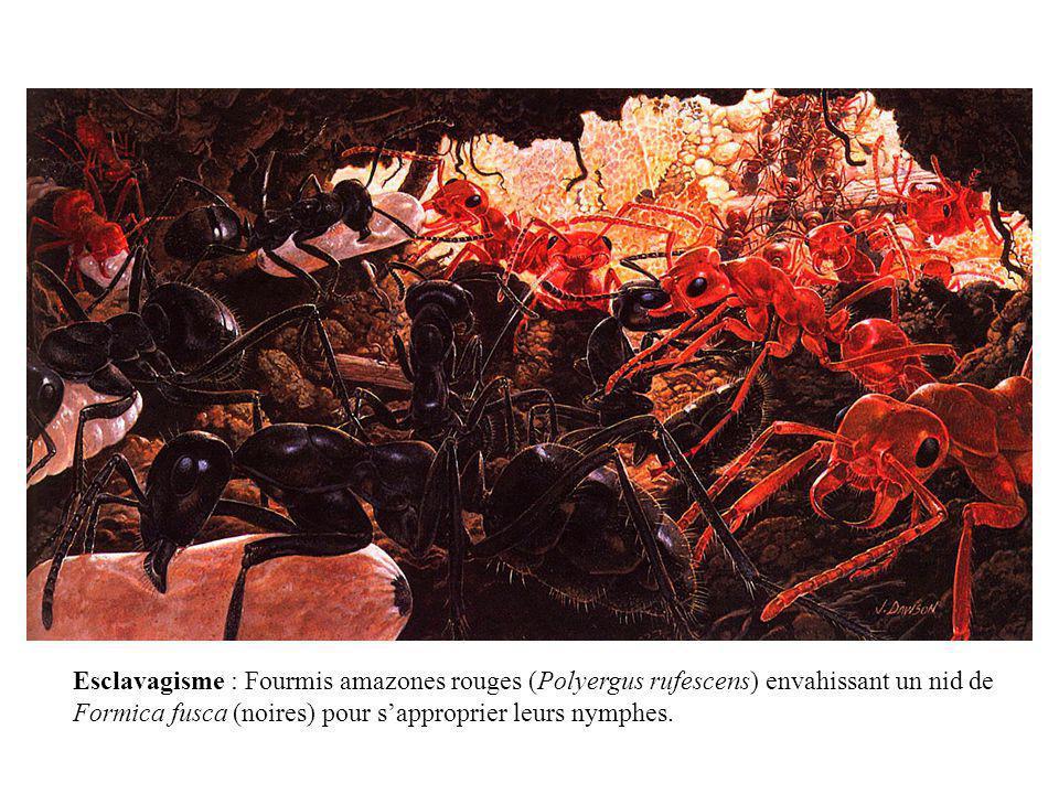 Esclavagisme : Fourmis amazones rouges (Polyergus rufescens) envahissant un nid de Formica fusca (noires) pour sapproprier leurs nymphes.