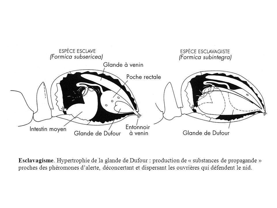 Esclavagisme. Hypertrophie de la glande de Dufour : production de « substances de propagande » proches des phéromones dalerte, déconcertant et dispers