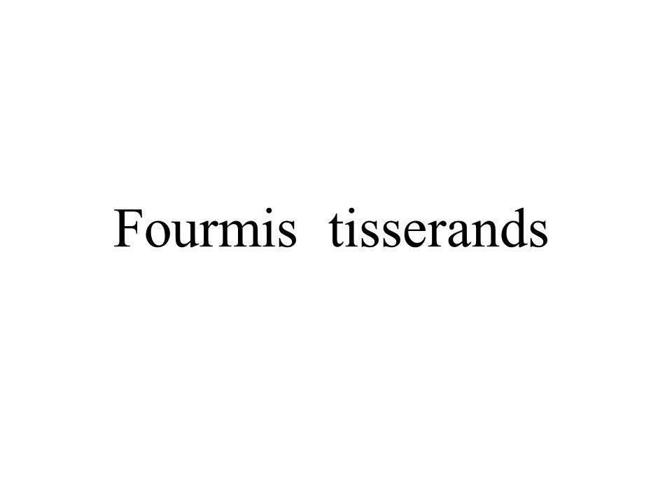 Fourmis tisserands