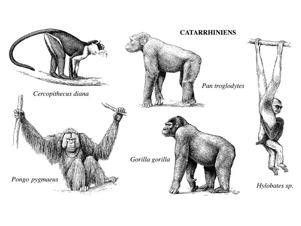 PRIMATES Particularités anatomiques & tendances évolutives