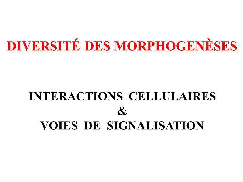 INTERACTIONS CELLULAIRES & VOIES DE SIGNALISATION DIVERSITÉ DES MORPHOGENÈSES