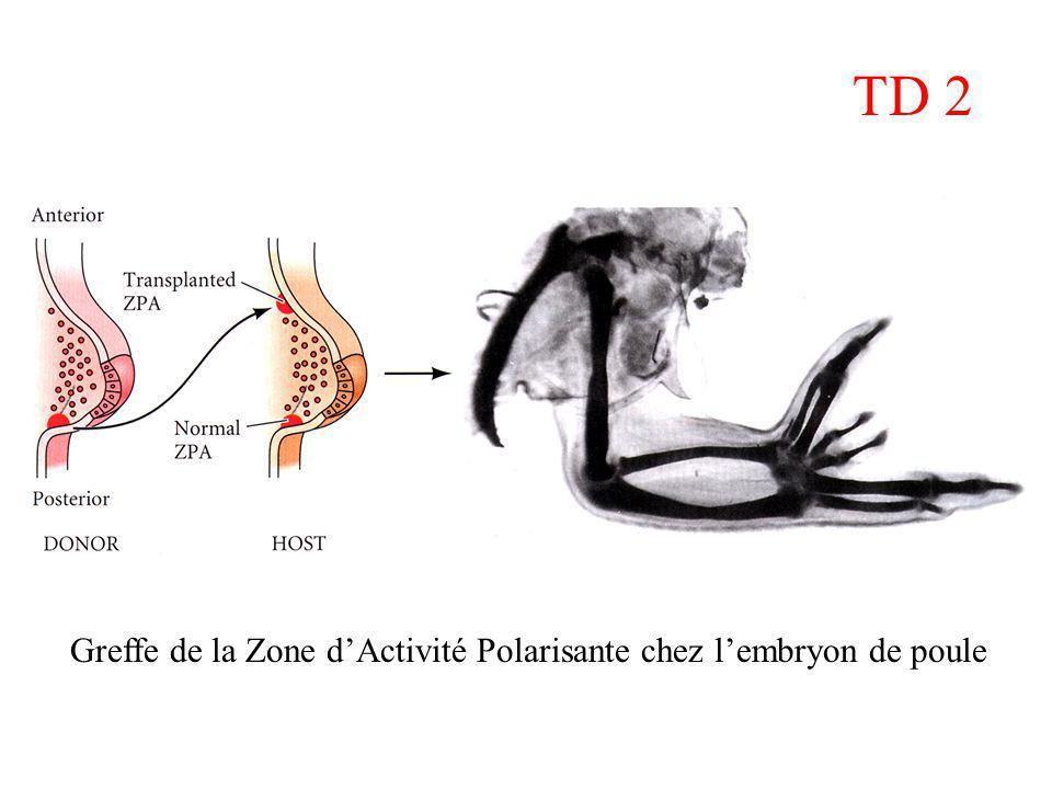 Greffe de la Zone dActivité Polarisante chez lembryon de poule TD 2