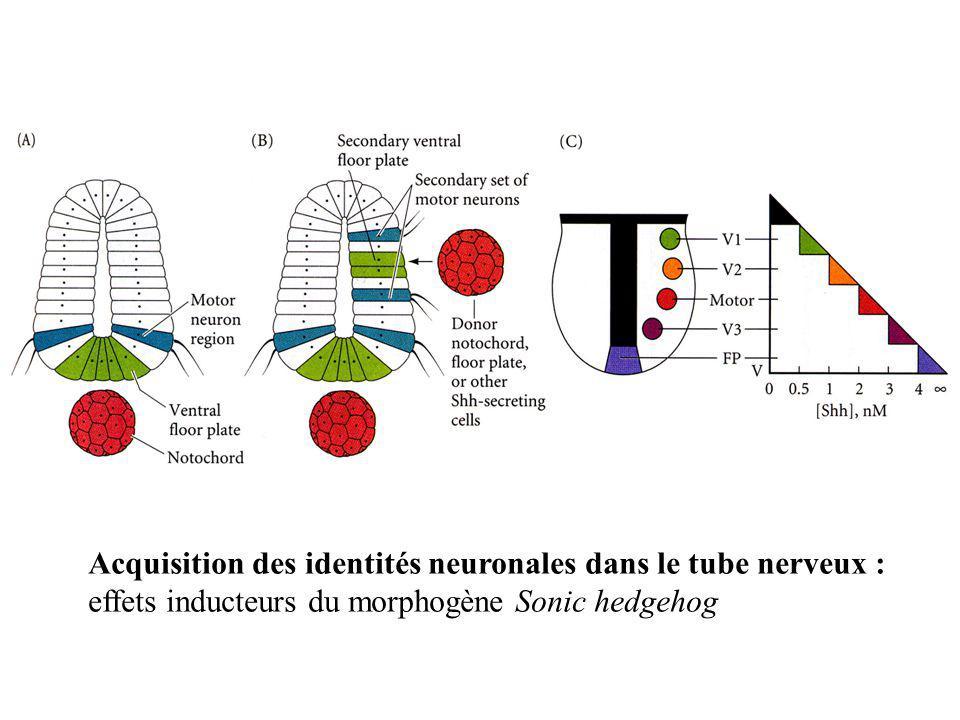 Acquisition des identités neuronales dans le tube nerveux : effets inducteurs du morphogène Sonic hedgehog