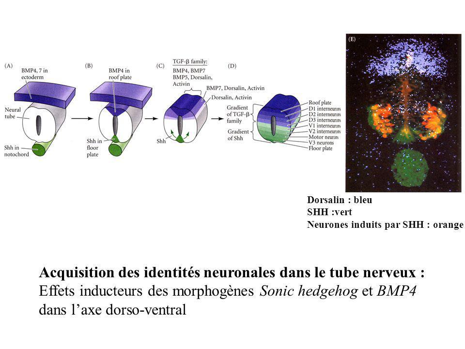 Dorsalin : bleu SHH :vert Neurones induits par SHH : orange Acquisition des identités neuronales dans le tube nerveux : Effets inducteurs des morphogè