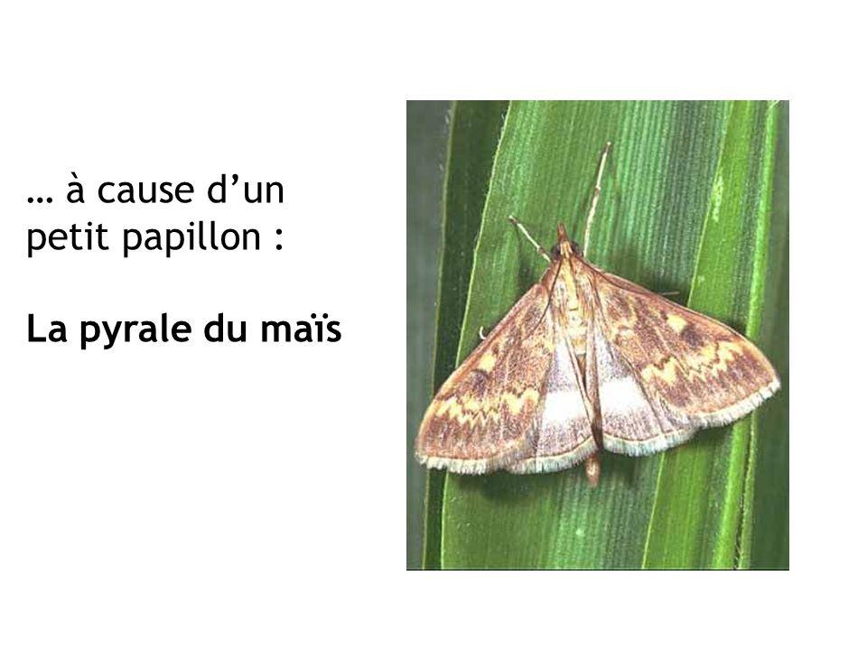 … à cause dun petit papillon : La pyrale du maïs