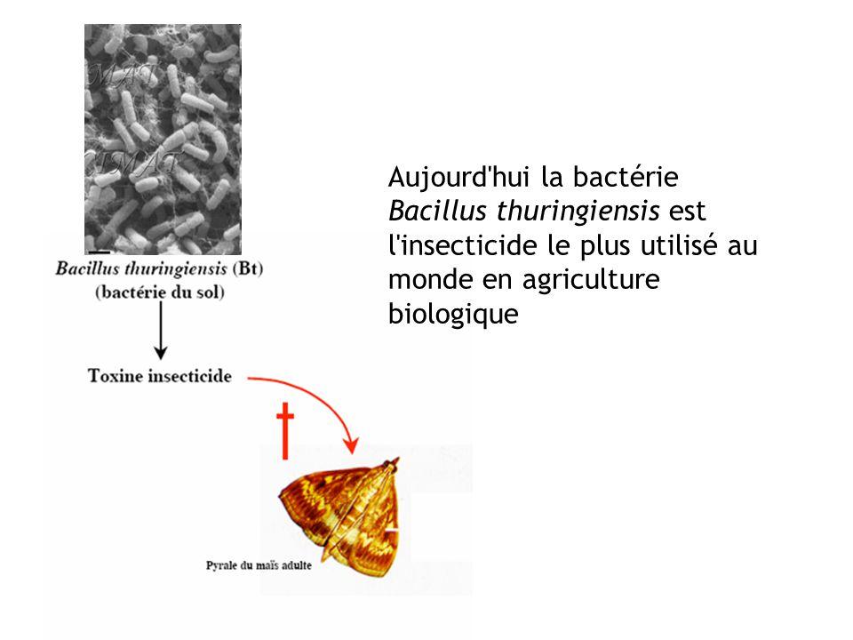 Aujourd'hui la bactérie Bacillus thuringiensis est l'insecticide le plus utilisé au monde en agriculture biologique
