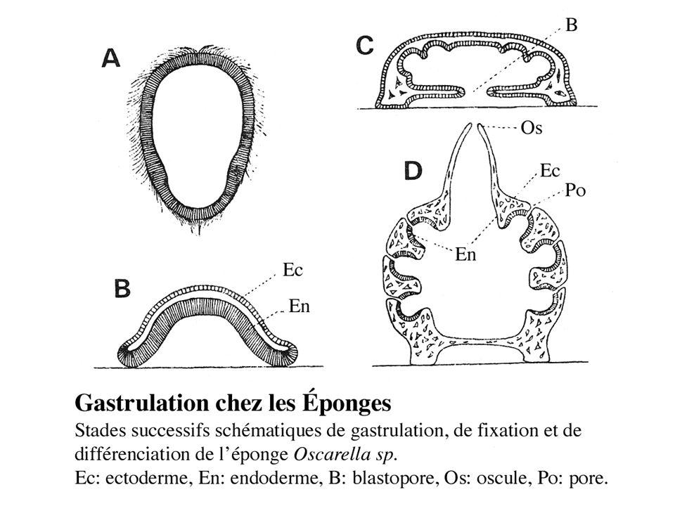 Oscar Hertwig et Herman Fol (1876) Travaux sur loursin Toxopneustes lividus ---> la fécondation enfin comprise .