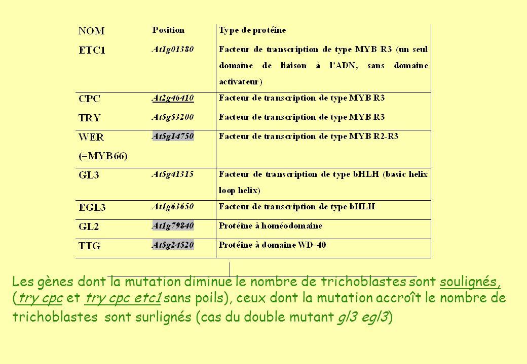 Les gènes dont la mutation diminue le nombre de trichoblastes sont soulignés, (try cpc et try cpc etc1 sans poils), ceux dont la mutation accroît le nombre de trichoblastes sont surlignés (cas du double mutant gl3 egl3)