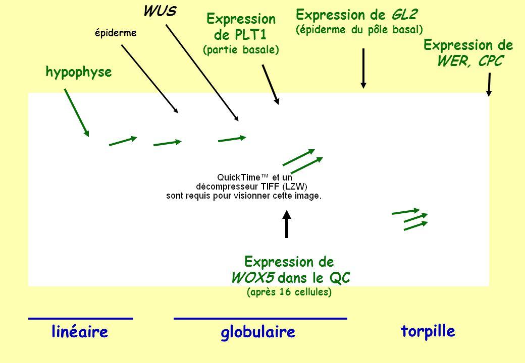 Expression de GL2 (épiderme du pôle basal) Expression de WER, CPC Expression de WOX5 dans le QC (après 16 cellules) Expression de PLT1 (partie basale) hypophyse linéaireglobulaire torpille épiderme WUS