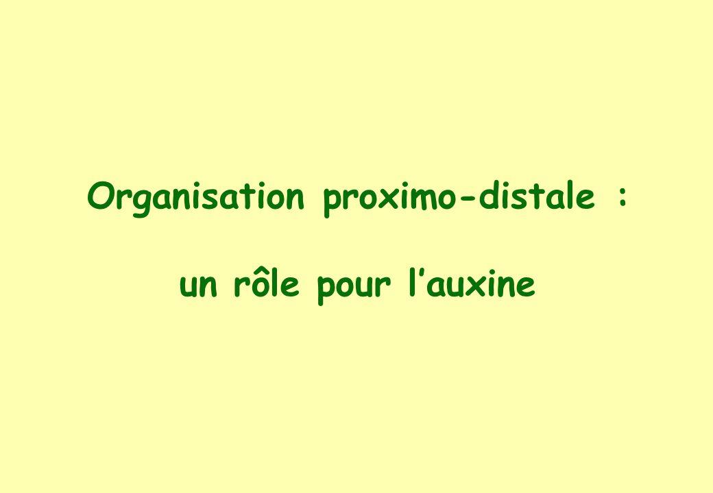 Organisation proximo-distale : un rôle pour lauxine