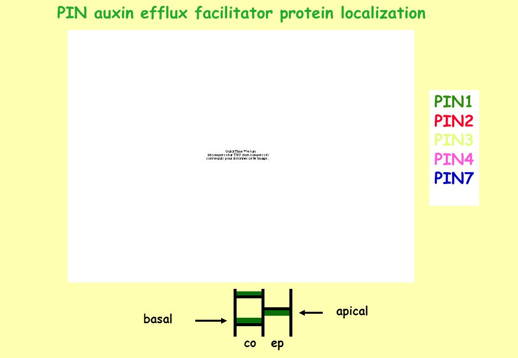 epco basal apical PIN1 PIN2 PIN3 PIN4 PIN7 PIN auxin efflux facilitator protein localization