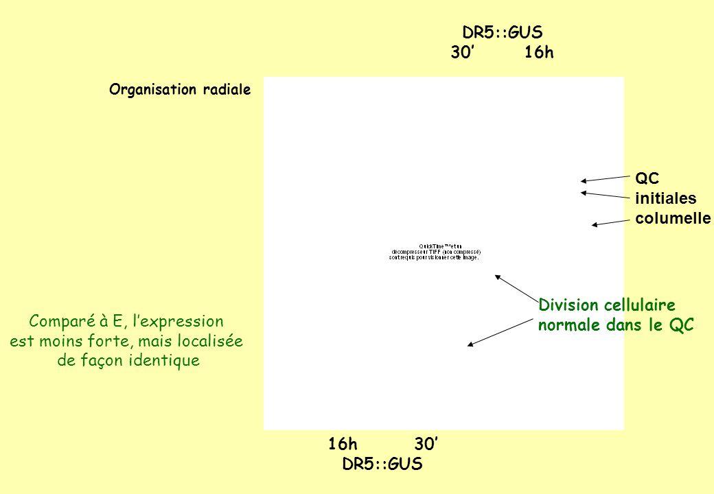 Organisation radiale DR5::GUS 30 16h QC initiales columelle 16h 30 DR5::GUS Comparé à E, lexpression est moins forte, mais localisée de façon identique Division cellulaire normale dans le QC