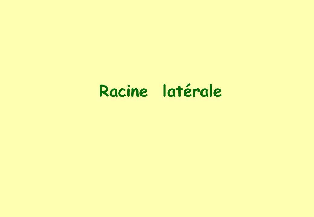 Racine latérale