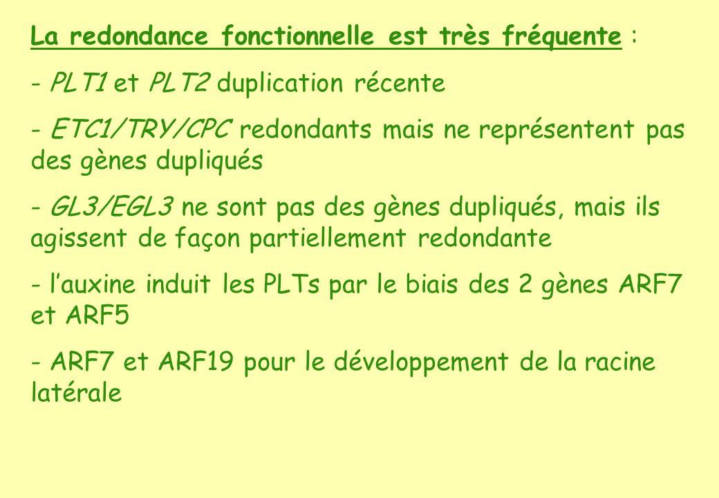 La redondance fonctionnelle est très fréquente : - PLT1 et PLT2 duplication récente - ETC1/TRY/CPC redondants mais ne représentent pas des gènes dupliqués - GL3/EGL3 ne sont pas des gènes dupliqués, mais ils agissent de façon partiellement redondante - lauxine induit les PLTs par le biais des 2 gènes ARF7 et ARF5 - ARF7 et ARF19 pour le développement de la racine latérale